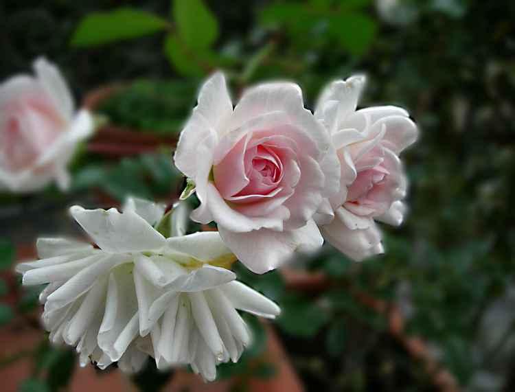 Roses in my garden -