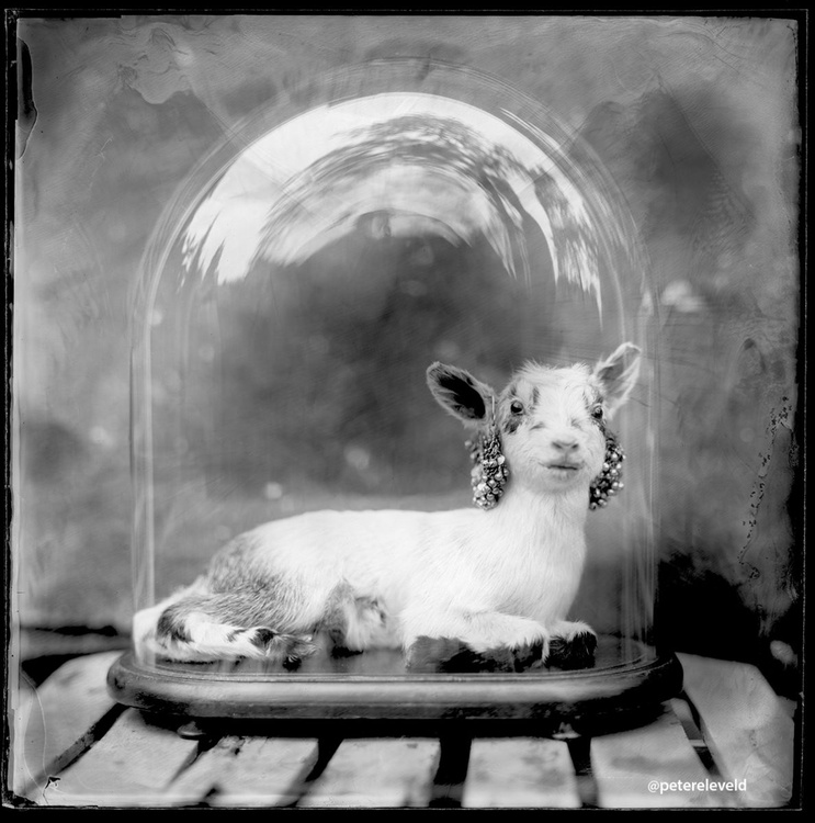 Goat in glass - Image 0