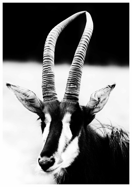 Sable Antelope - Image 0