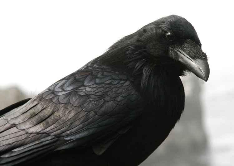 curious raven -
