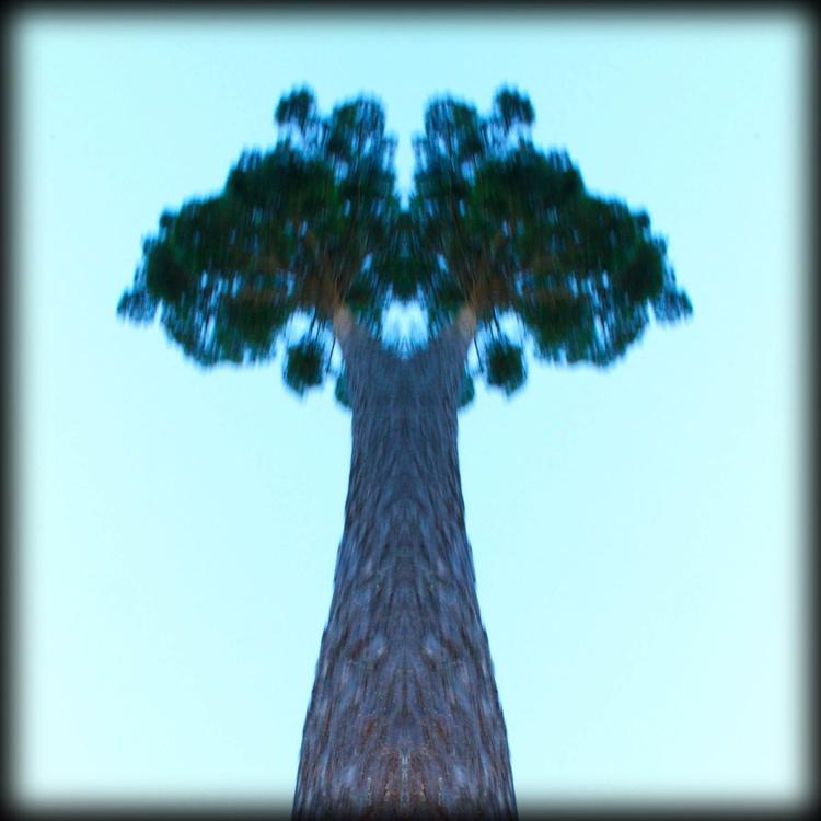 Tall Trees 1 - Image 0
