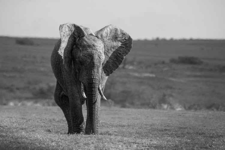 Lone elephant 2 -