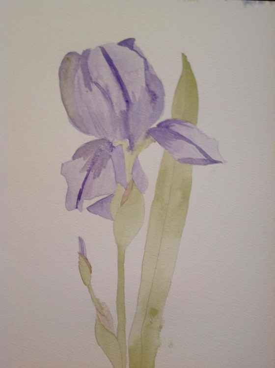 Tulip study -