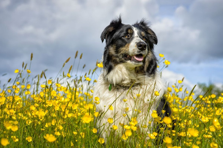 Lucy, Border Collie  - Limited Edition Print - Image 0