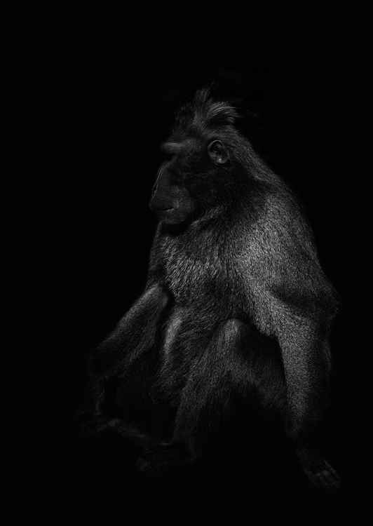 Celebes crested macaque -