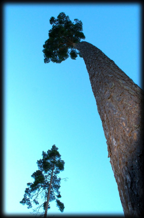 Tall Trees 3 - Image 0
