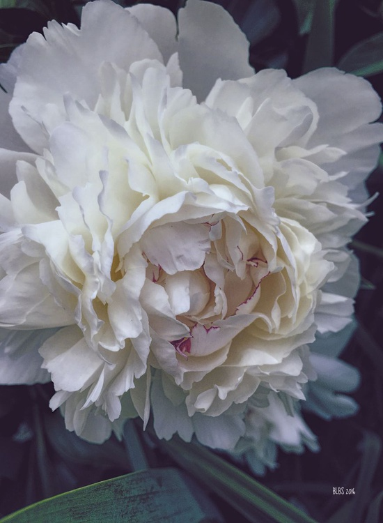 White Peony with Red Edges - Image 0