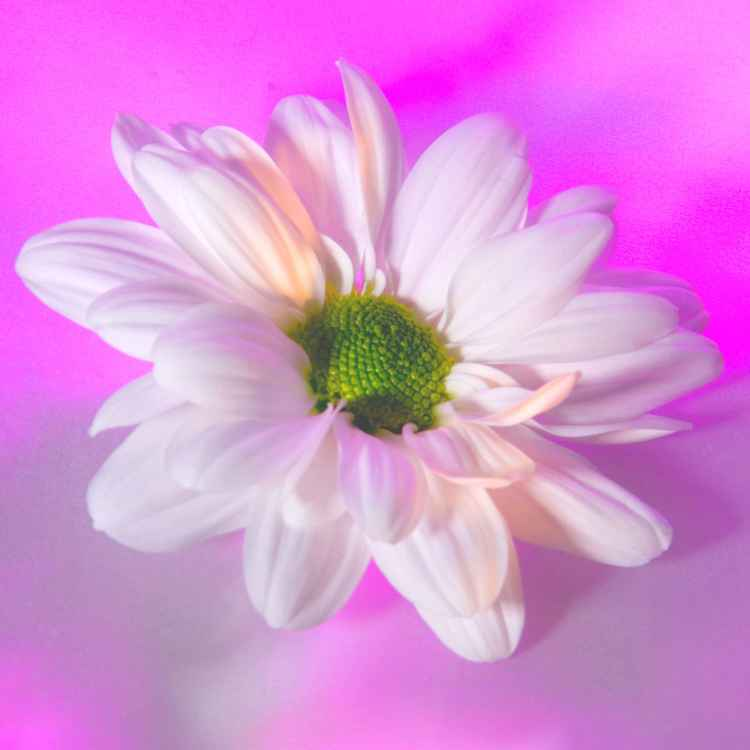 Daisy -