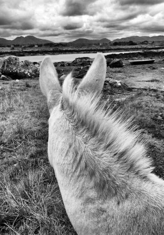 Connemara Donkey - County Galway Ireland -