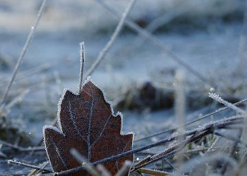 Frosted Frozen Leaf