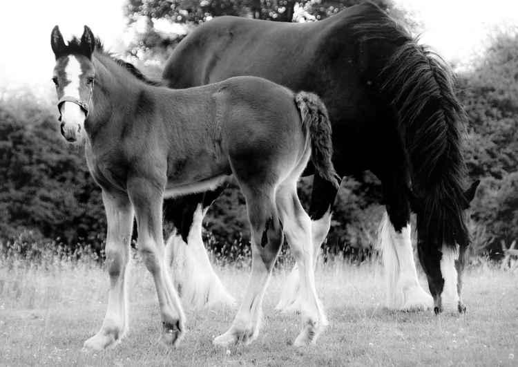 Shire Horses  -