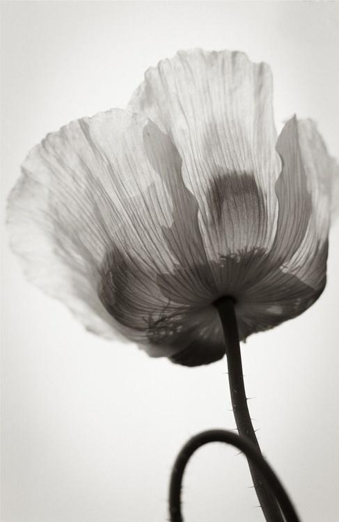 Transparent Poppy - Image 0