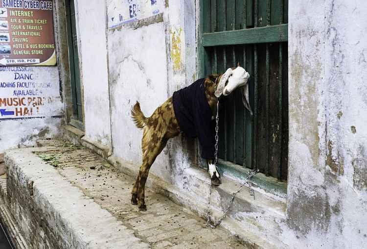 Varanasi Goat -