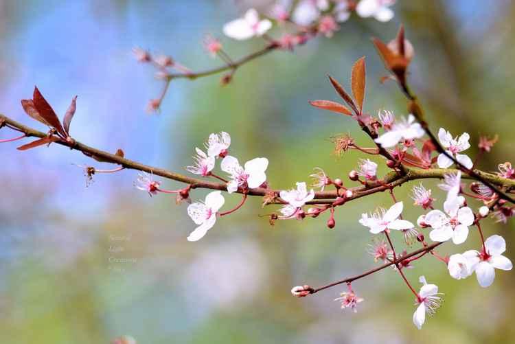 """ Cherry Plum Pink "" -"