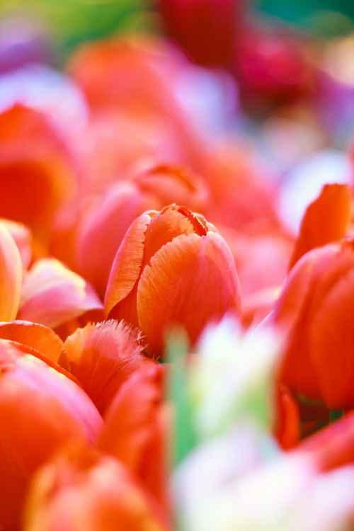 Scarlet Tulips II, 2016 -