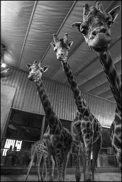 Four Giraffes at Zoo Praha