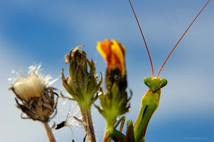 Praying mantis - Image 0