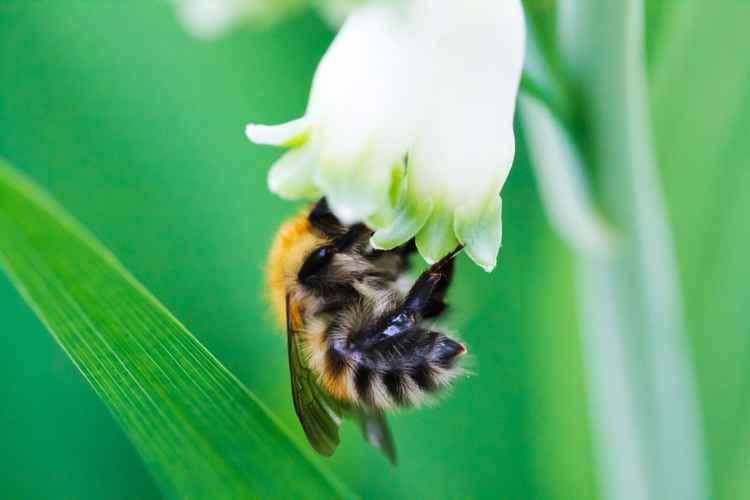 Bumblebee inGreen Pastel (King Solomon's-seal) -