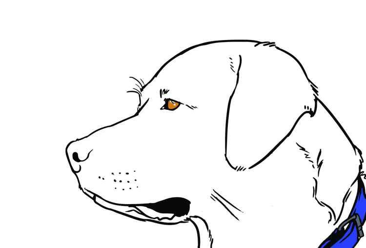Labrador -