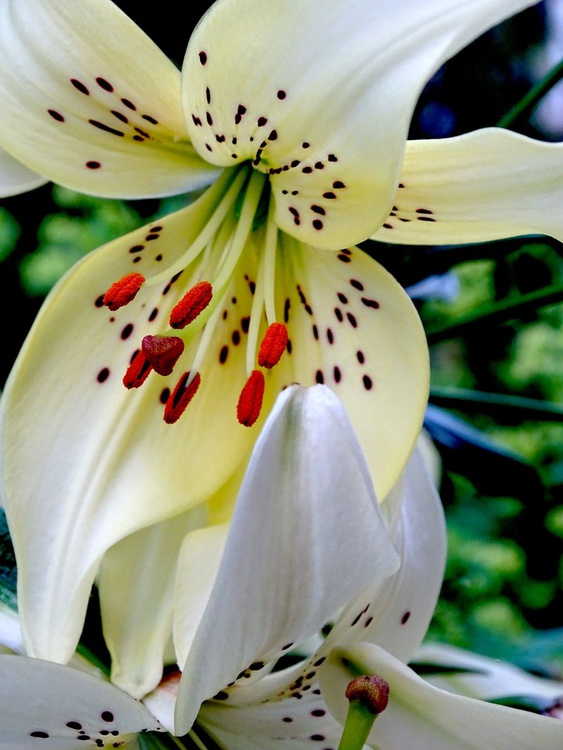 The spotty lily - Image 0