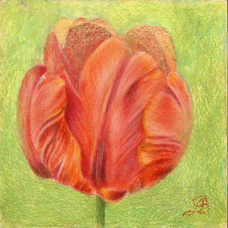 Red tulipe