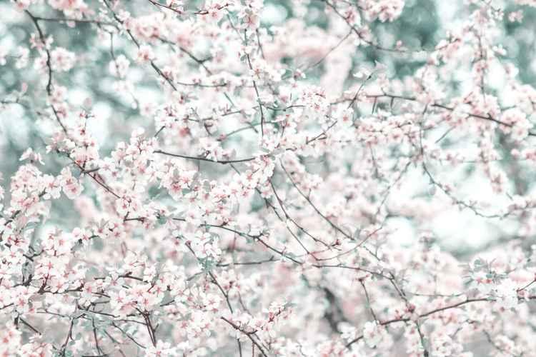 Cherry Blossom IV, 2015