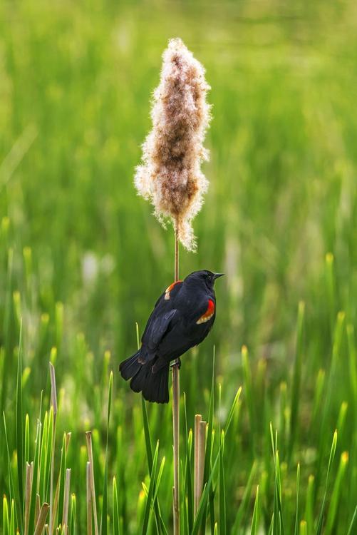 Red-winged blackbird - Image 0