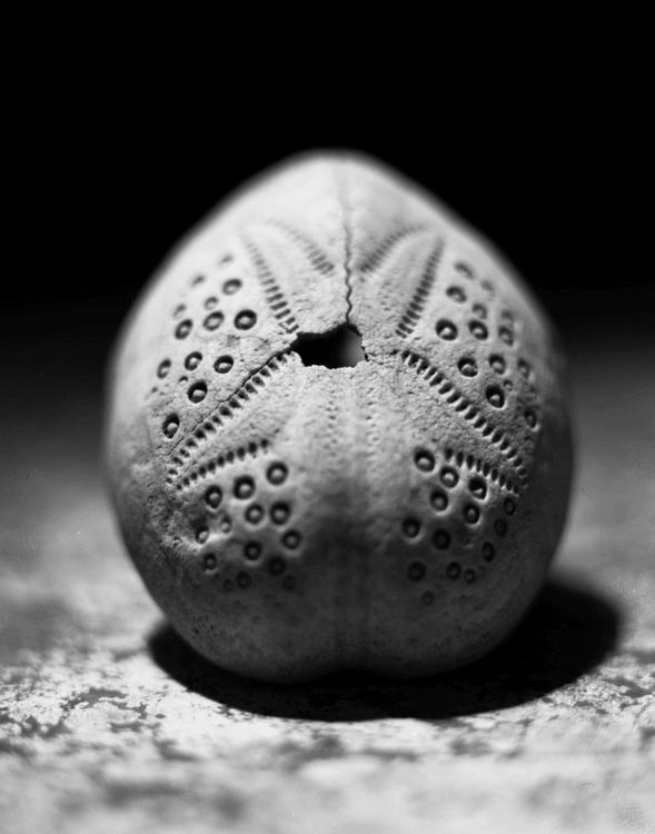 sea urchin -