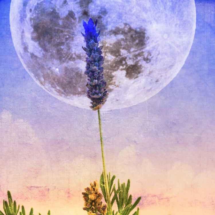 Lavender Moon -