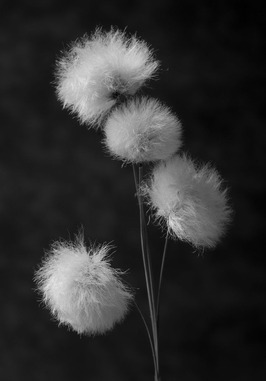 Cotton Grass - Image 0