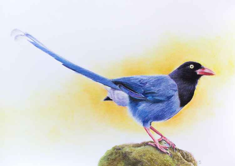 "Original pastel drawing ""Taiwan blue magpie"" -"