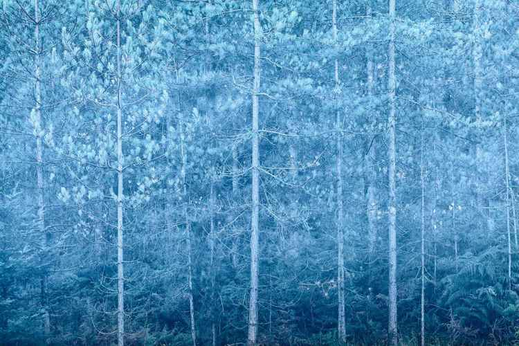 Forest Blue -