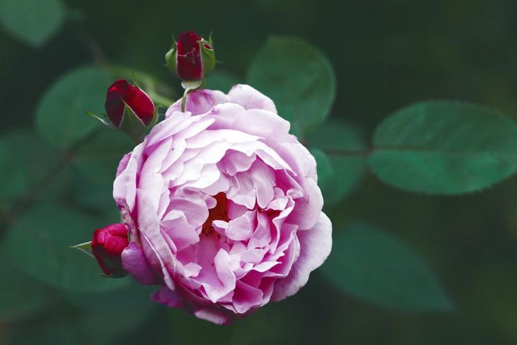 Garden Rose, 2015 - Image 0