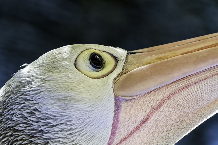 The Pensive Pelican - Image 0