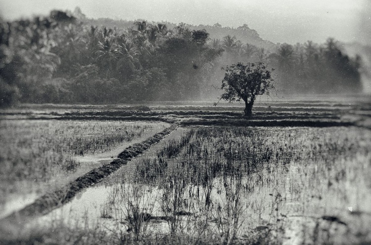 Indonesian Rice Field - Image 0
