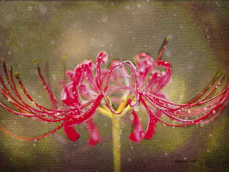 RED SPIDER LILY IN THE RAIN
