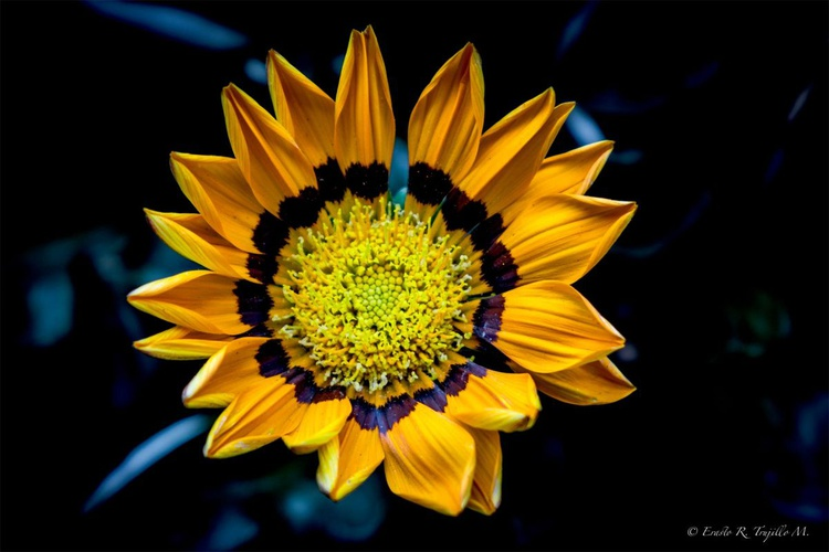 Orange gerbera daisy - Image 0
