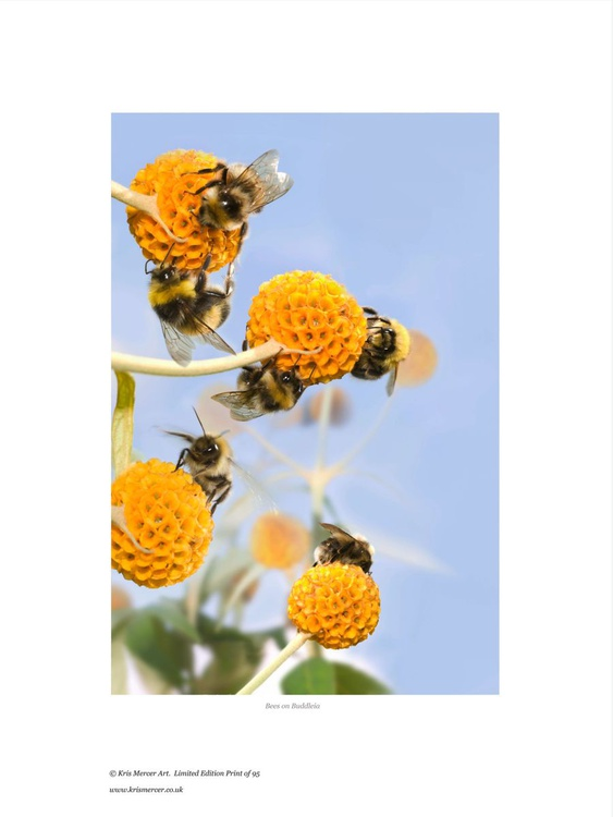 Bees on buddleia - Image 0