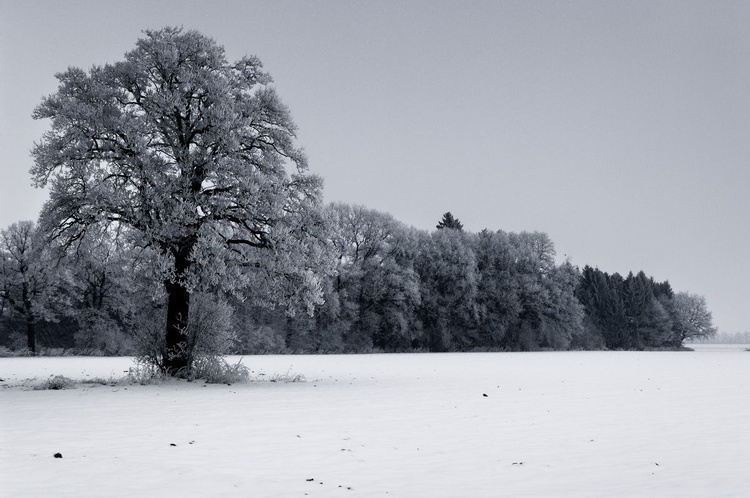Dark Frosted Trees. (59x42cm) - Image 0