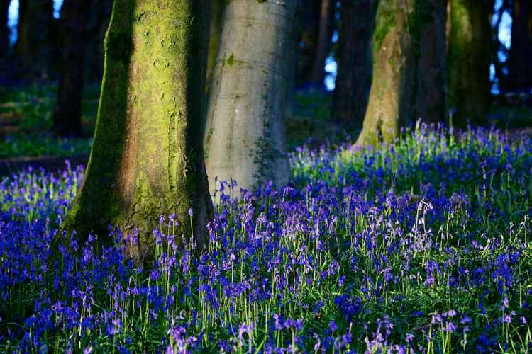 Bluebells in Evening Light, Wenallt, Cardiff -