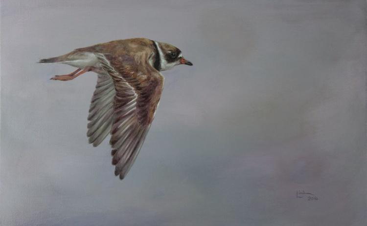 Plover in flight - Image 0