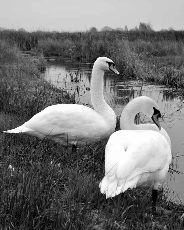 Swans #1 -