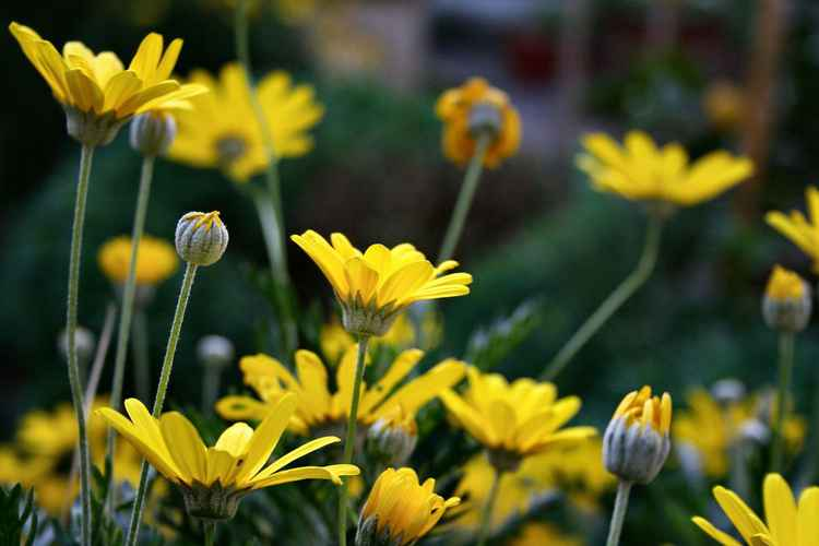 Daisies in December -