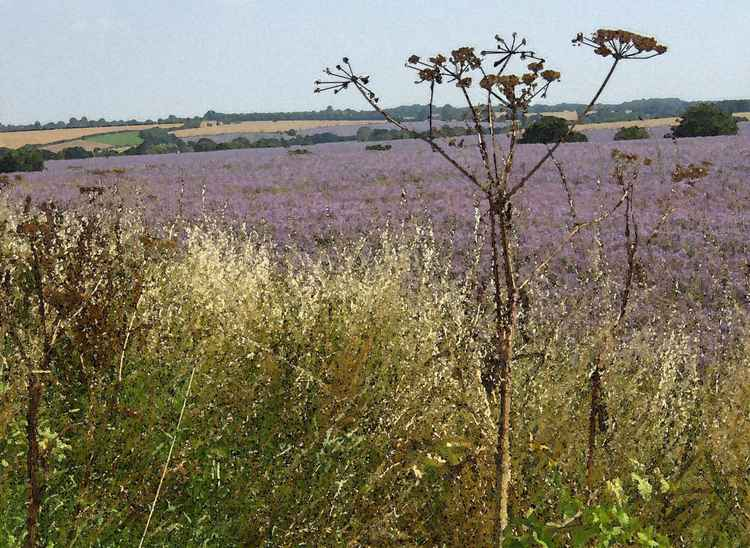 Flax and Hogweed near Long Melford