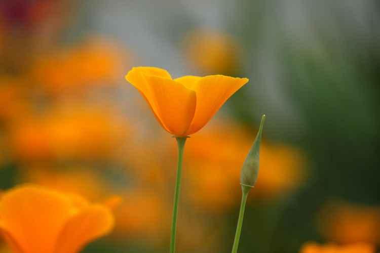 Orange poppy -