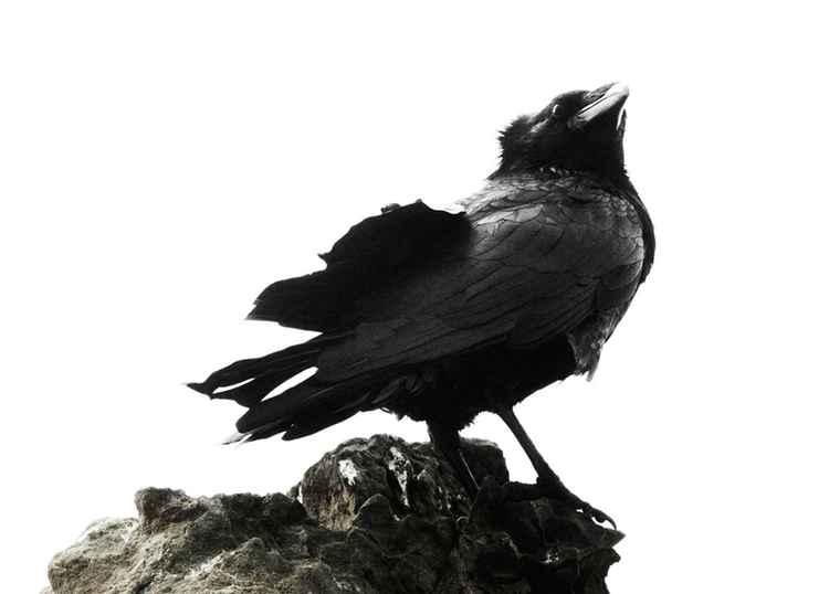 ruffled raven -