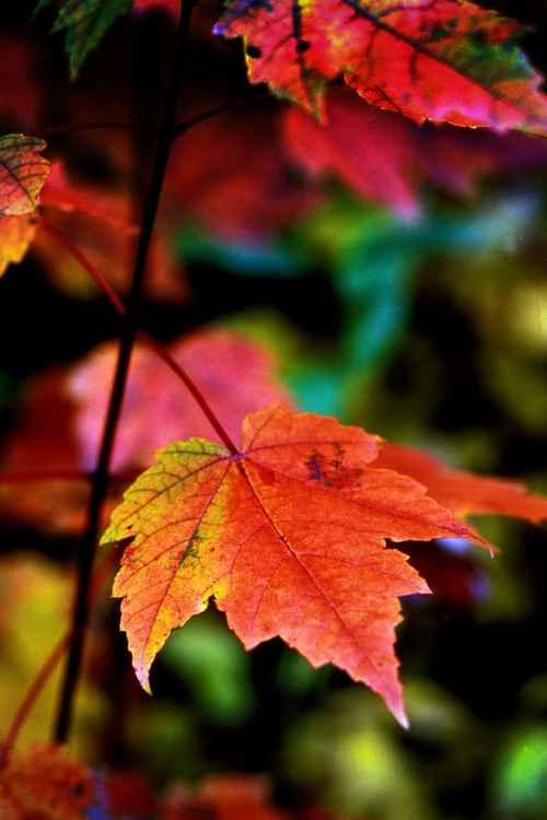 Fall Leaf in New England -
