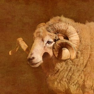 The ram by Nadia  Attura
