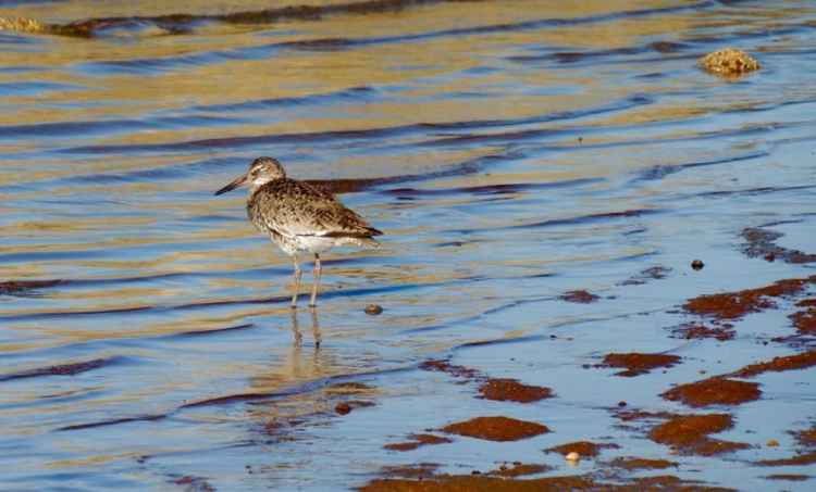Sandpiper on the Morning Shore -