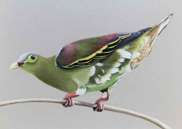 "Original pastel drawing ""Thick-billed Green Pigeon"""